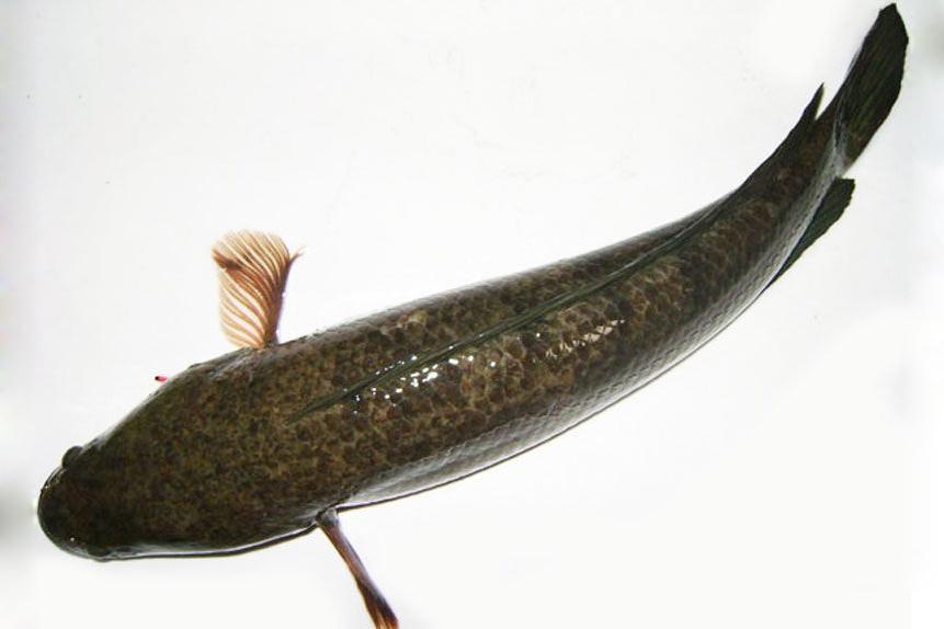 Mơ về cá lóc ẩn chứa nhiều báo hiệu khác nhau